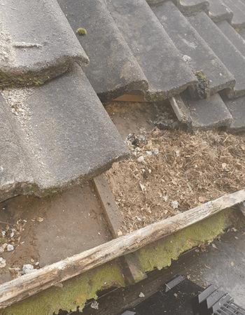 Vogelnest onder dakpan verwijderen